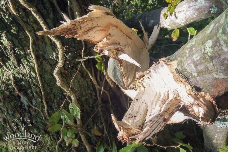 Fallen Hornbeam