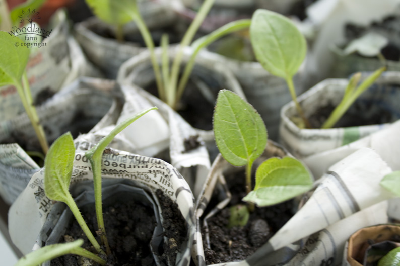 planting small plants in paper wraps