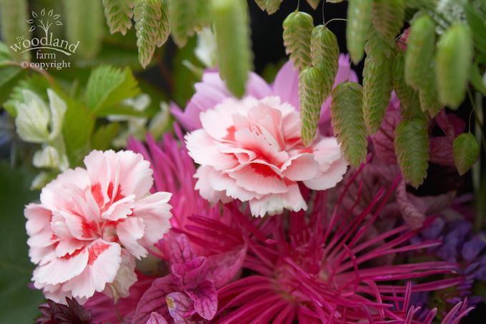 garden pinks