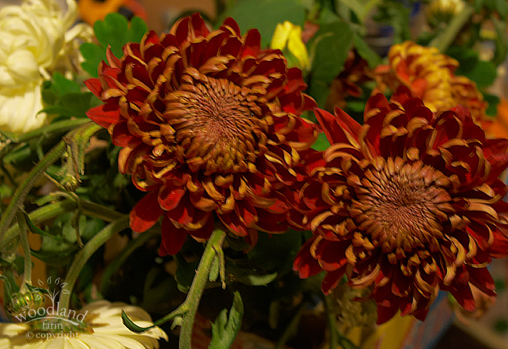 autumn chrysanthemumss