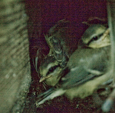 chicks nesting