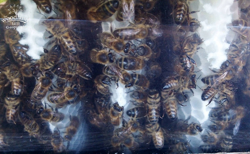bees in new comb