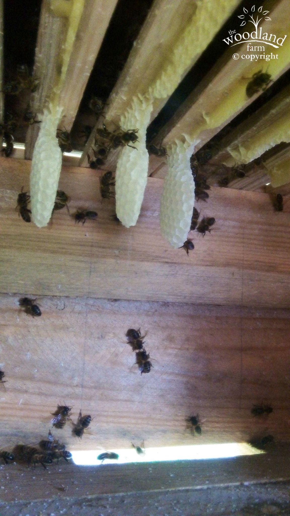 Inside a Warre hive showing the new comb being made