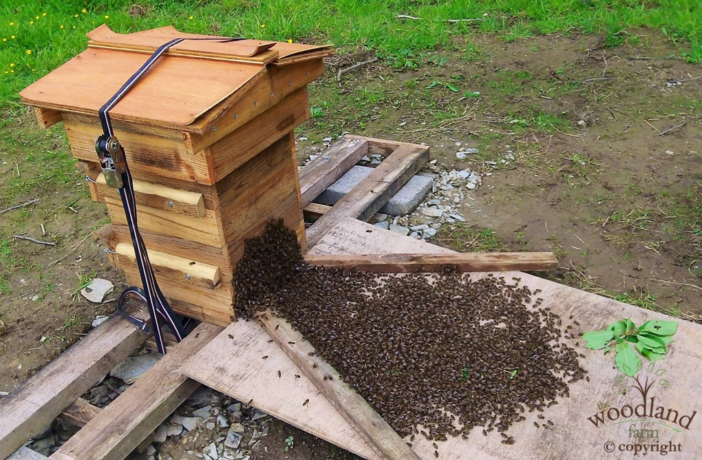 swarm of bees entering the Warre Hive